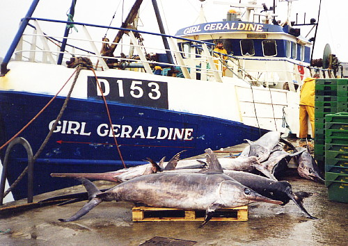 Swordfish landed by a local trawler at the pier